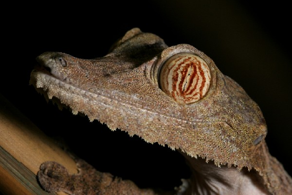 Leaf-Tailed Gecko, uploaded by kingsnake.com user zmarchetti