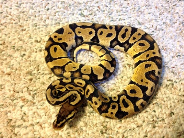 ball python essay What are the differences between a boa vs a python a:  ball pythons of the species python regius typically reach 2 to 3 feet in length if male or 4 to 5 feet in.