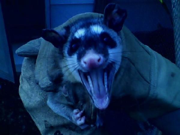 four eyed possums