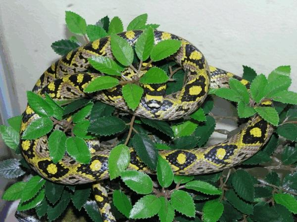Mandarin Rat Snake Male