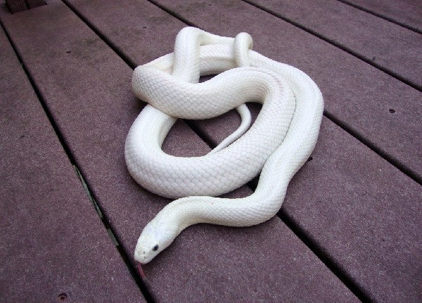 White python snake - photo#18