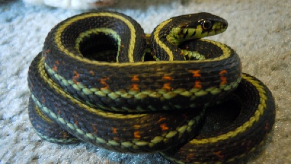 Garter Snake, uploaded by kingsnake.com user concinnitor