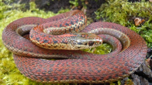 Erythristic Northwestern Garter Snake
