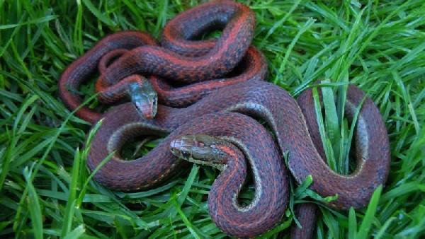 Erythristic Northwestern Garter Snakes