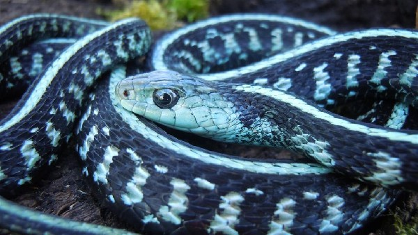 Blue phase anerythristic  Garter snake