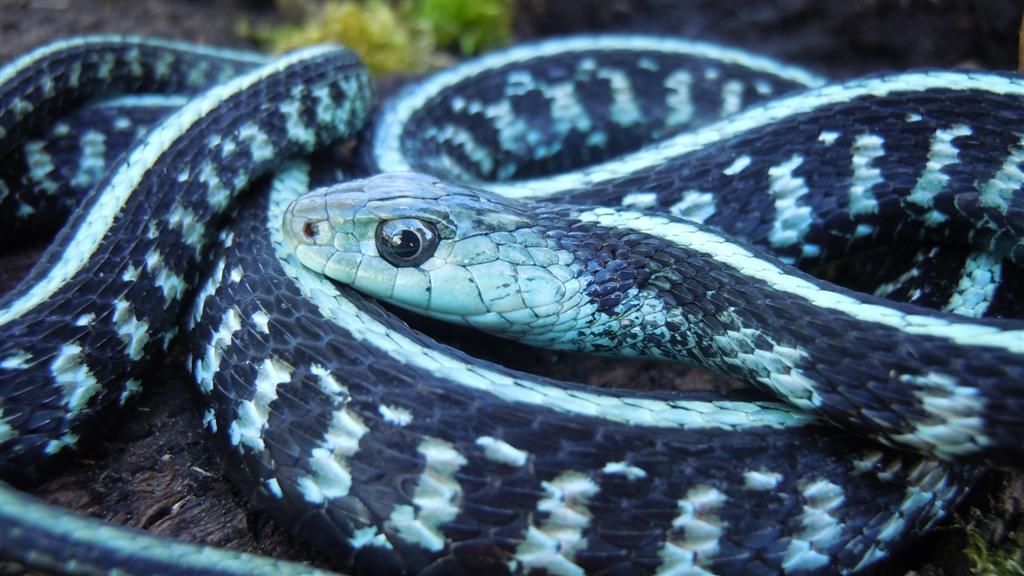 Blue phase anerythristic  Garter snake