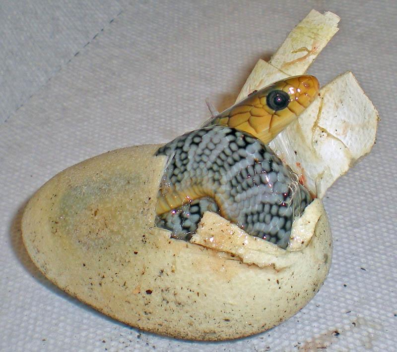 Yellow Tail Cribo hatching