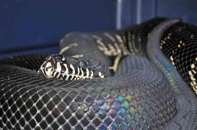 Boelen's Python, uploaded by kingsnake.com user alanb