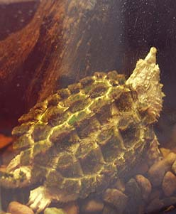 Leucistic Alligator Snapper