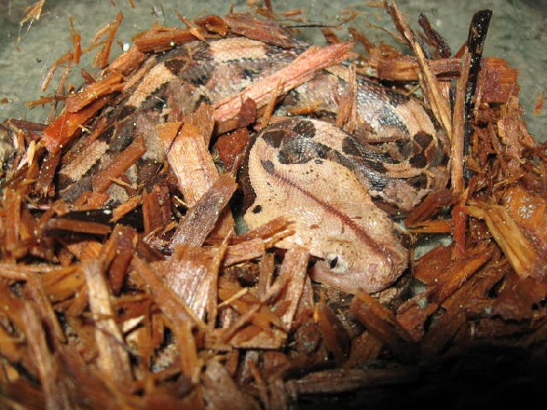 Gaboon Viper, uploaded by kingsnake.com user MissBallLover