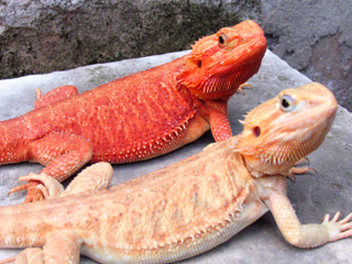 Bearded Dragons, uploaded by kingsnake.com user dedragons