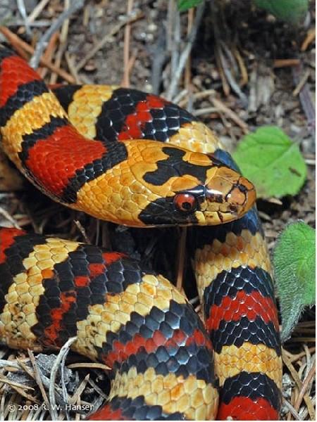 Thayer's Kingsnake, uploaded by kingsnake.com user charlescory