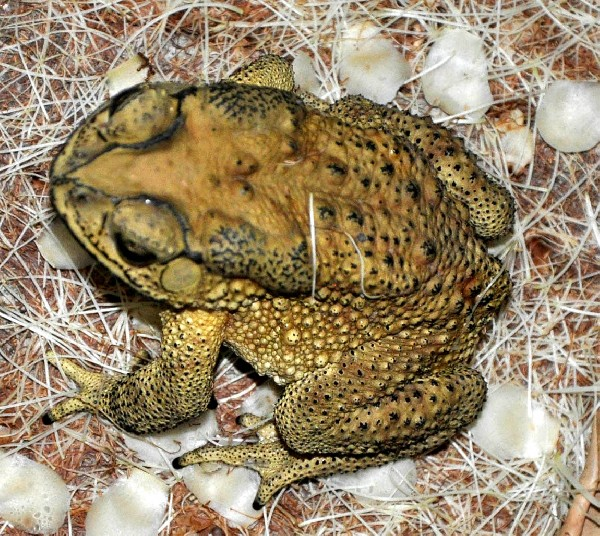 Photo: Black Spotted Toad