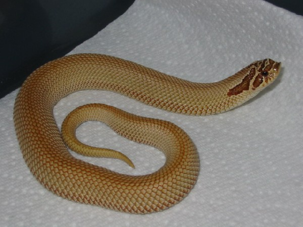 Patternless Western Hognose
