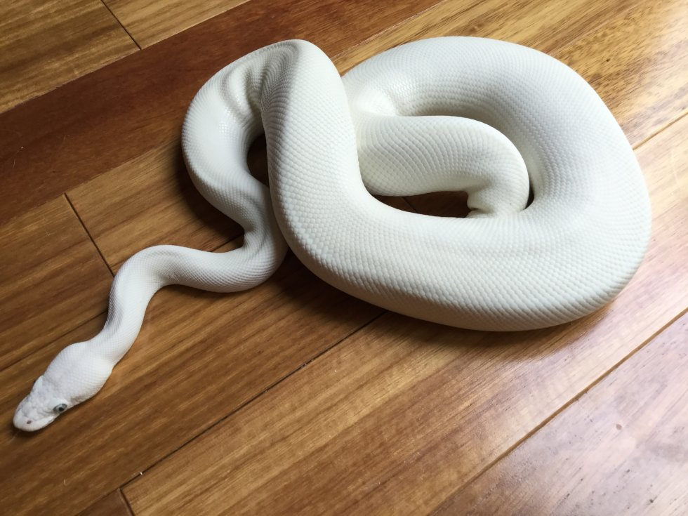 Russo Leucistic (White Diamond)