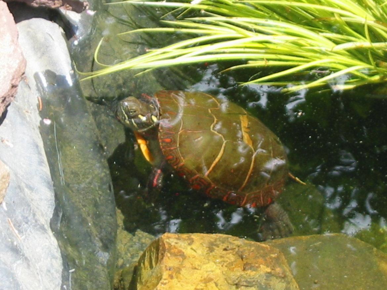 Female painted Turtle