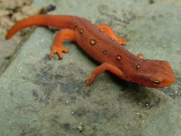 red eft (eastern red spotted newt)
