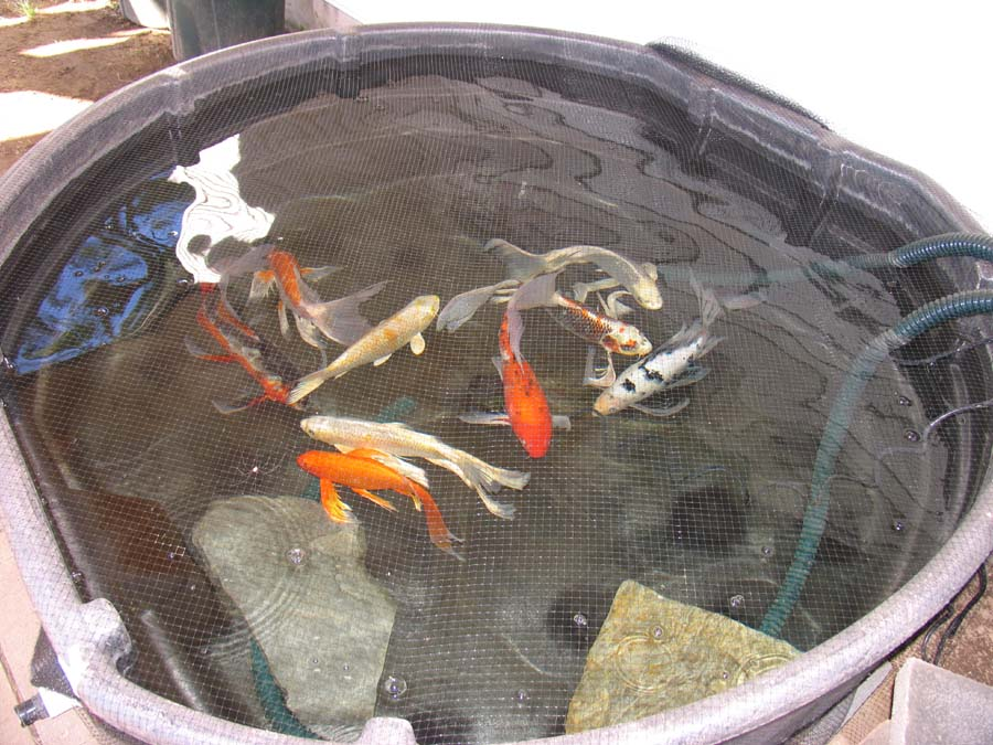 Finally new pond complete photos so disapointed for Koi holding pool