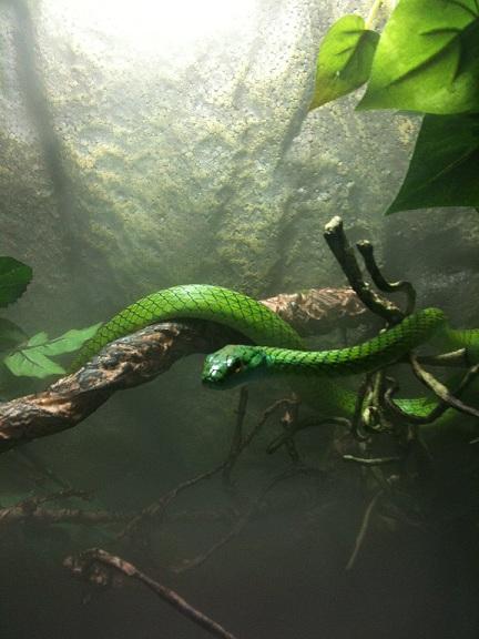 Parrot snake on vine