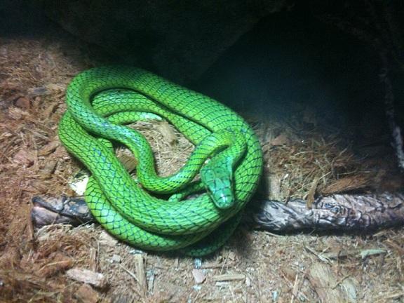 Photo: parrot snake