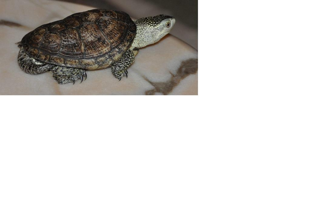 what kind of turtle this ???
