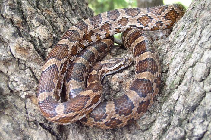 kingsnake com photo gallery > Rat Snakes > Natchitoches Parish