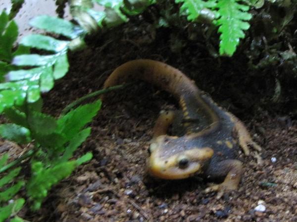 Ming.  Himalayan Crocodile Newt