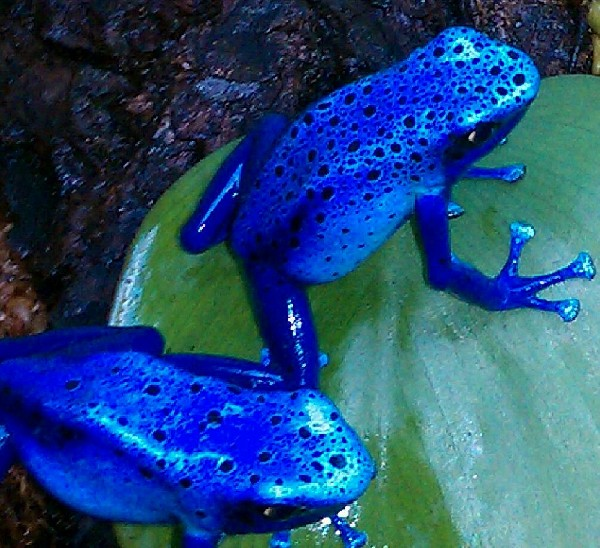 Arrow Frogs, uploaded by kingsnake.com user stefan31