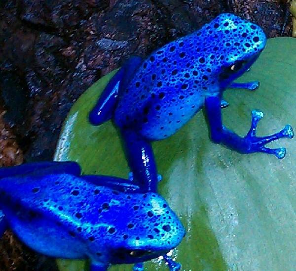 <br /> Arrow Frogs, uploaded by kingsnake.com user stefan31