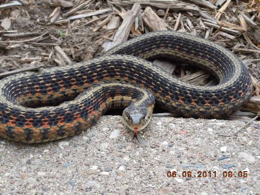 Garter Snake, uploaded by kingsnake.com user clayemt