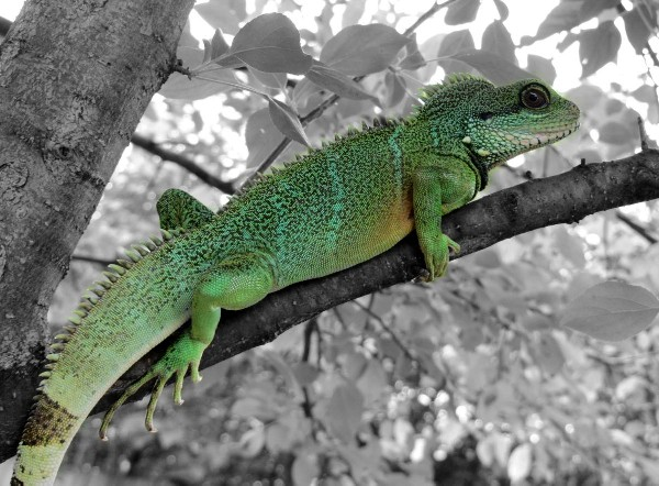 Water Dragon, uploaded by kingsnake.com user jessie1293