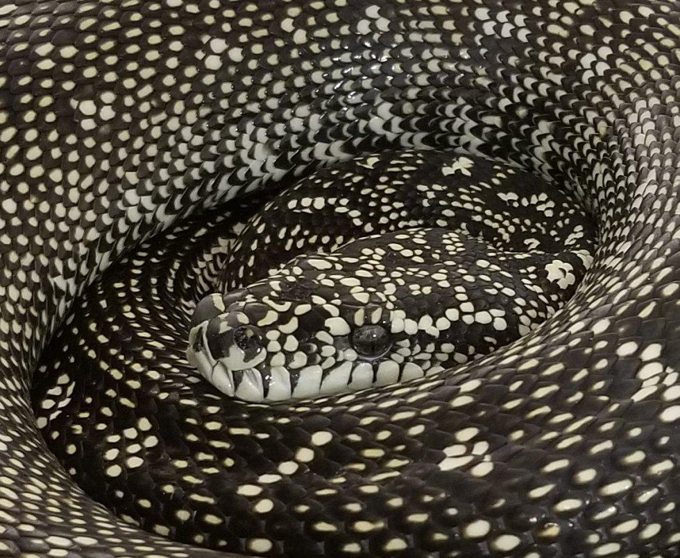 Pure Diamond Python