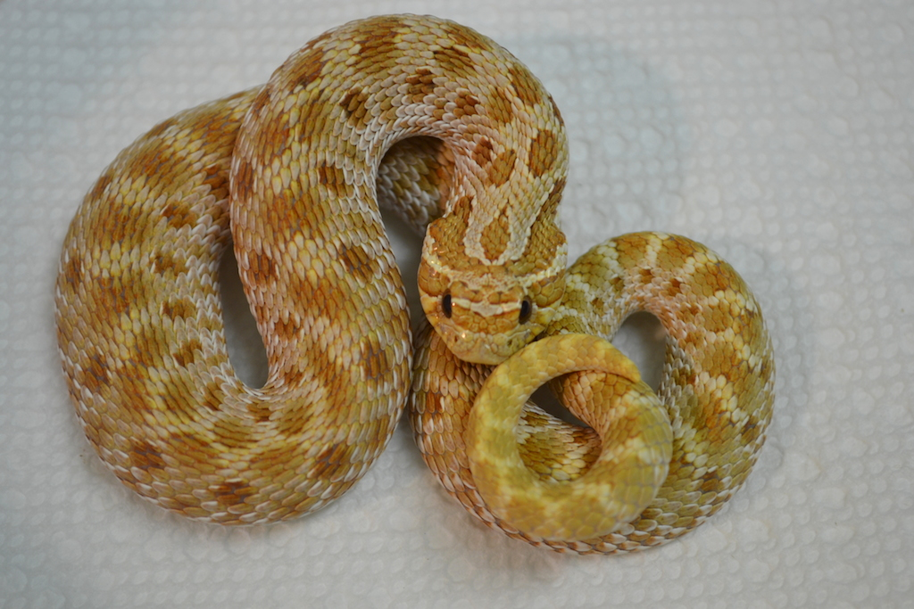 Western Hognose, uploaded by kingsnake.com user DianaFarnsworth