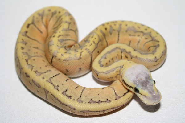 Ball Python, uploaded by kingsnake.com user robpirk