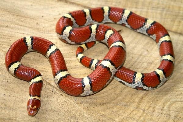 Atlantic county N.J. Coastal Plain milk snake female    uploaded by kingsnake.com user CarlBartlett