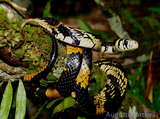 Yellow Rat Snake, uploaded by kingsnake.com user Herpetologia