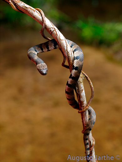 Water Snake, uploaded by kingsnake.com user Herpetologia