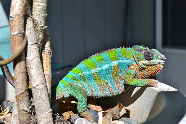 Chameleon, uploaded by kingsnake.com user 1Sun