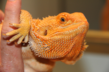 Bearded Dragon, uploaded by kingsnake.com user OrangeHypo