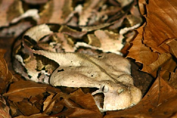 Photo: Gaboon Viper