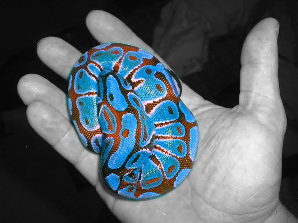 kingsnake com photo gallery > Member Galleries > Ball Python