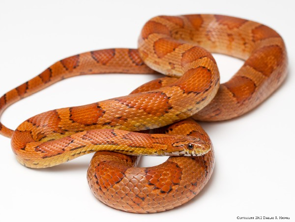 Corn Snake, uploaded by kingsnake.com user dallashawks