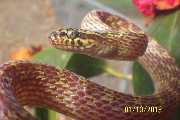 Cross-Barred Snake, uploaded by kingsnake.com user MVH4