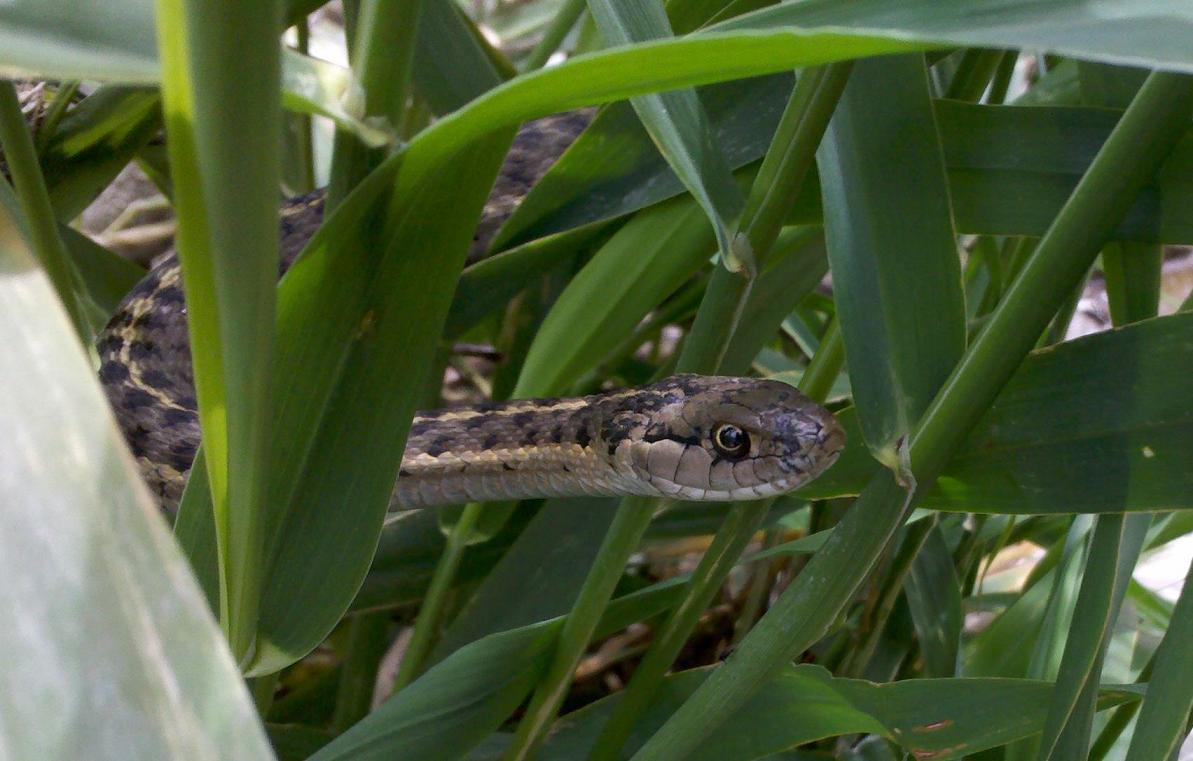 Wild Utah Garter Snake (Thamnophis spp.)