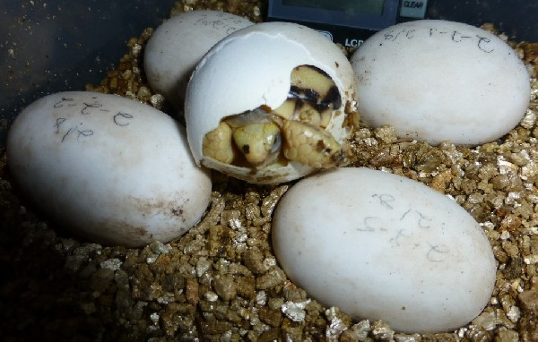 Burmese Star Tortoises Hatching, uploaded by kingsnake.com user kens