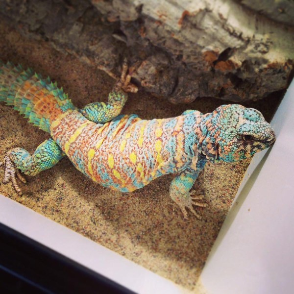 Uromastyx, uploaded by kingsnake.com user plietz
