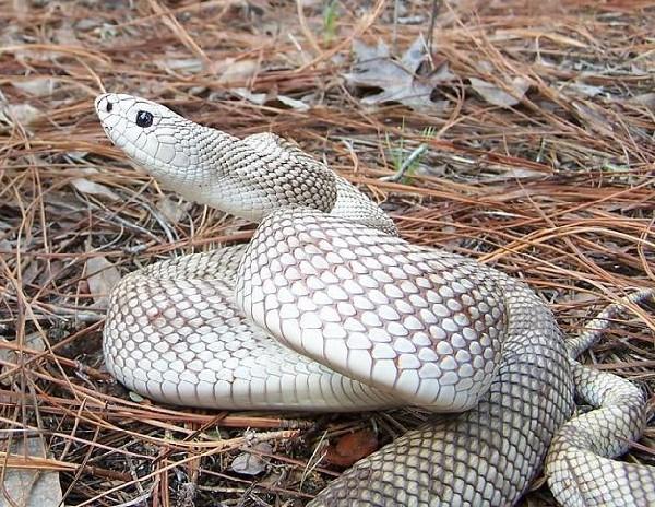 Southern pine snake, uploaded by kingsnake.com user CrimsonKing