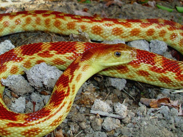 Cape Gopher Snake, uploaded by kingsnake.com user pitparade