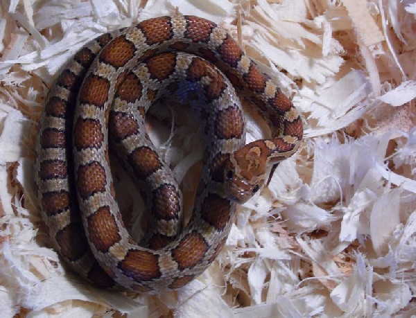Rootbeer Cornsnake, uploaded by kingsnake.com user Bearr
