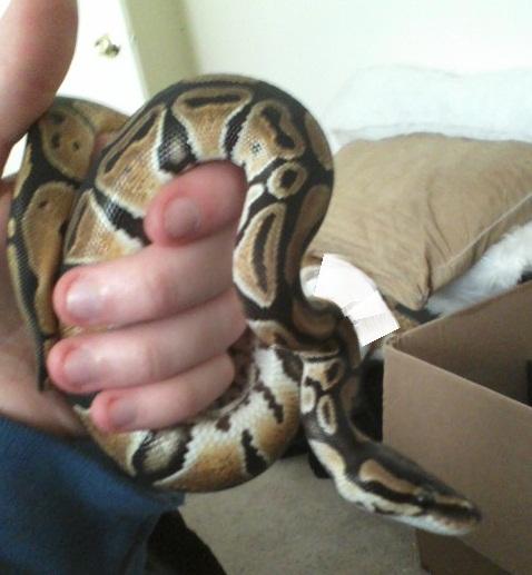 First ball python (normal)